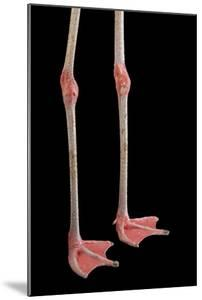 The Legs of a Chilean Flamingo, Phoenicopterus Chilensis, at the Gladys Porter Zoo by Joel Sartore