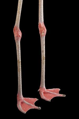 The Legs of a Chilean Flamingo, Phoenicopterus Chilensis, at the Gladys Porter Zoo