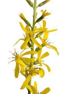 'The Rocket' Plant, Ligularia Stenocephala by Joel Sartore