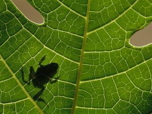 The Silhouette of a Tree Frog Seen Through a Veined Leaf by Joel Sartore