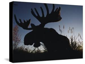 The Silhouetted Head of a Moose by Joel Sartore