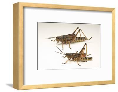 The Southeastern Lubber Grasshopper, Romalea Microptera.