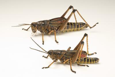 The Southeastern Lubber Grasshopper, Romalea Microptera. by Joel Sartore