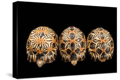 Three Critically Endangered, Yearling Radiated Tortoises, Astrochelys Radiata.