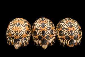 Three Critically Endangered, Yearling Radiated Tortoises, Astrochelys Radiata. by Joel Sartore