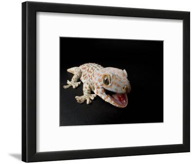 Tokay Gecko at the Sunset Zoo in Manhattan, Kansas