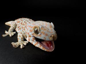 Tokay Gecko at the Sunset Zoo in Manhattan, Kansas by Joel Sartore