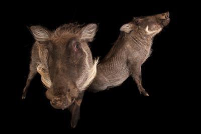 Two 8-Month-Old Common Warthogs, Phacochoerus Africanus, at the Columbus Zoo.
