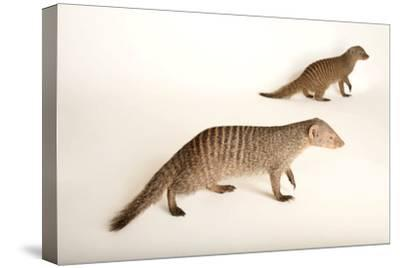 Two Banded Mongooses, Mungos Mungo, at the Fort Wayne Children's Zoo