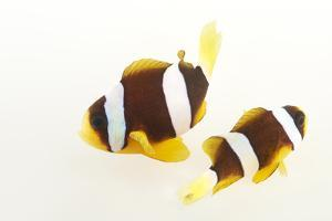 Two Clark's Anemonefish, Amphiprion Clarkii, at Pure Aquariums. by Joel Sartore