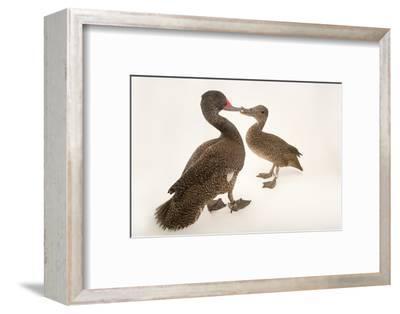 Two Freckled Ducks, Stictonetta Naevosa, at Sylvan Heights Bird Park