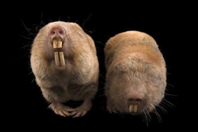Two Giant Mole Rats, Cryptomys Mechowi, at the Houston Zoo by Joel Sartore