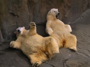Two Lounging Polar Bears, Omaha, Nebraska by Joel Sartore
