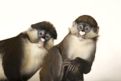 Two Schmidt's Red Tailed Guenons, Cercopithecus Ascanius, at the Houston Zoo