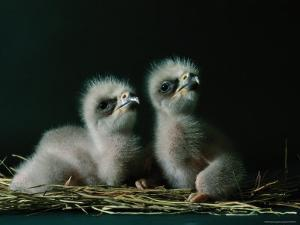 Two Southern American Bald Eaglets Awaiting Food by Joel Sartore