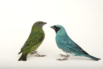 Two Swallow Tanagers, Tersina Viridis, at the Houston Zoo by Joel Sartore