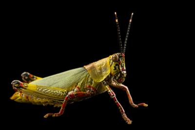 Variegated grasshopper, Zonocerus Variegatus, at the Budapest Zoo. by Joel Sartore