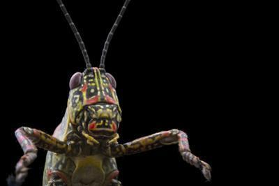 Variegated Grasshopper, Zonocerus variegatus, from the wild. by Joel Sartore