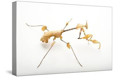 Violin Mantis, Gongylus Gongylodes, at the Omaha Henry Doorly Zoo.