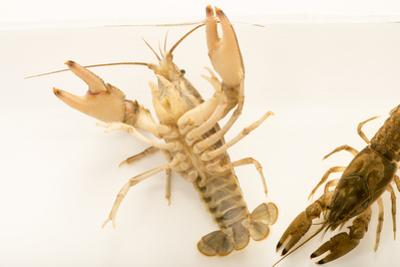 Virile crayfish, Orconectes virilis by Joel Sartore