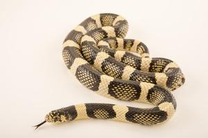 Western long-nosed snake, Rhinocheilus lecontei by Joel Sartore