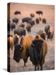 Wild American Bison Roam on a Game Preserve in Kansas by Joel Sartore