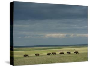 Wild American Bison Roam on a Ranch in South Dakota by Joel Sartore