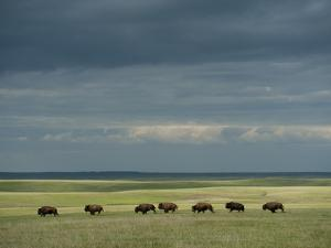 Wild American Bison Roam on a Ranch in South Dakota by Joel Sartore