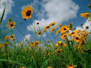 Wild Sunflowers in a Field by Joel Sartore