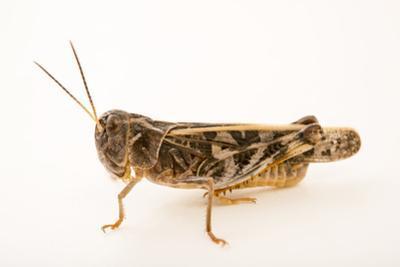 Wrinkled grasshopper, Hippiscus ocelote by Joel Sartore