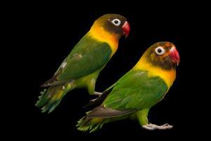 Yellow collared lovebirds, Agapornis personatus, at Piscilago Zoo. by Joel Sartore