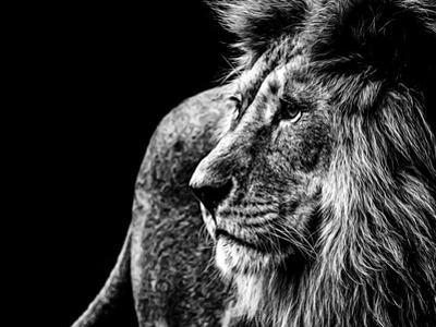 Lion in Black and White by Joerg Huettenhoelscher