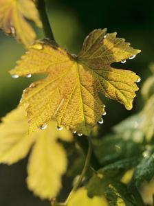 Autumn Vine Leaves in Corbieres, South of France by Joerg Lehmann