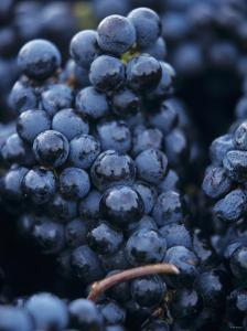 Cabernet-Sauvignon Grapes from Pomerol, France by Joerg Lehmann