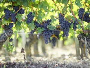 Cabernet Sauvignon Grapes by Joerg Lehmann
