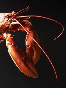 Cooked Lobster Against Black Background by Joerg Lehmann