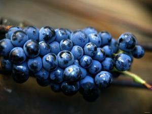 Grenache Grapes, Picked by Joerg Lehmann