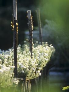 White Camomile in Garden by Joerg Lehmann