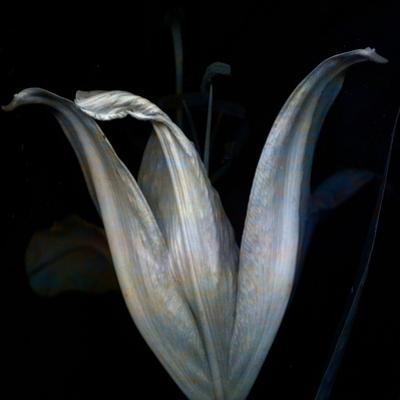 Lily 3 by Johan Lilja