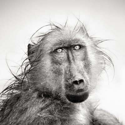 Baboon in Rain (Artistic Processing)