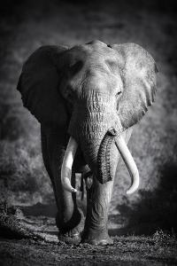 Large Elephant Bull Approaching (Artistic Processing) by Johan Swanepoel