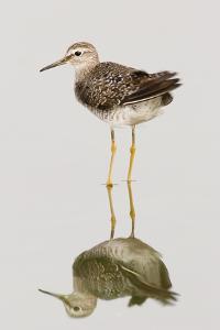 Pectoral Sandpiper; Calidris Melanotos; South Africa by Johan Swanepoel