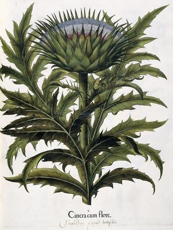 Cinera Cum Flore, 1613