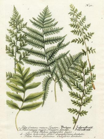 Fern Gathering II