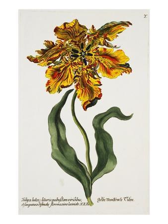 Tulipa Lutea, Lithograph