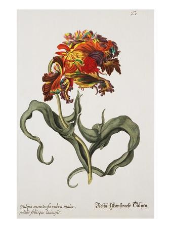 Tulipa Monstrosa Rubra Maior, Lithograph