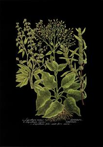 Weinmann Botanical on Black V by Johann Wilhelm Weinmann