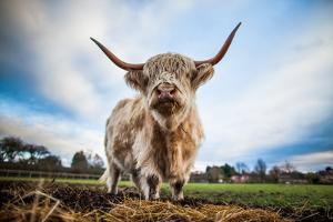 Highland Cattle (Bos Taurus), Gloucestershire, England, United Kingdom, Europe by John Alexander