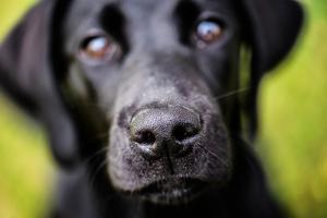 Labrador nose, United Kingdom, Europe by John Alexander