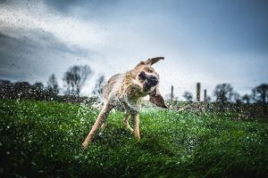 Labrador Shaking Off Water, United Kingdom, Europe by John Alexander